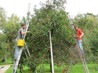 Fruit tree harvest