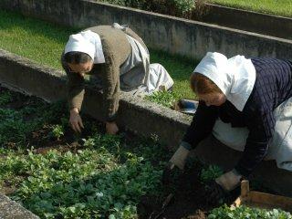 Sisters at planting